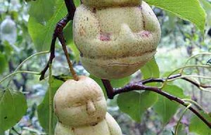Pears with human form