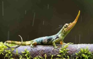 Strange Pinocchio lizard was discovered in Ecuador
