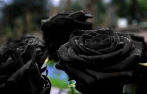 Turkish rare black roses