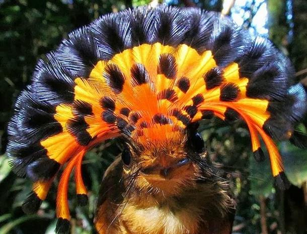 Amazon Royal Flycatcher