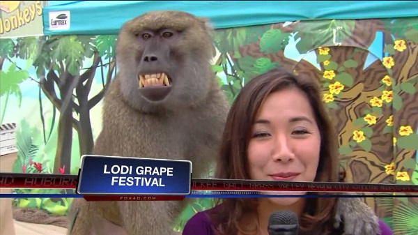 Weird Baboon touches reporter's chest live on TV
