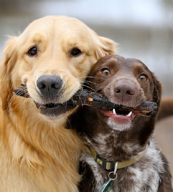 Two dogs sharing a stick