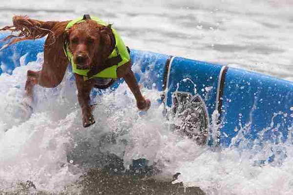 Surf contest for dogs