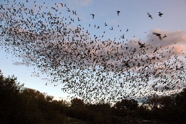 The largest colony of bats is at the Bracken cave