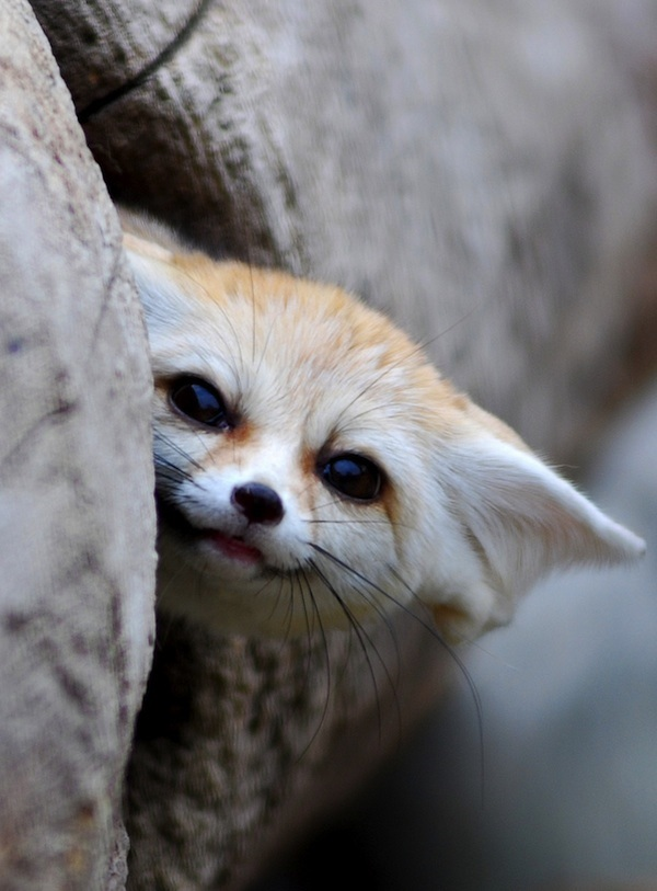 Fennec | Weirdly cute fox