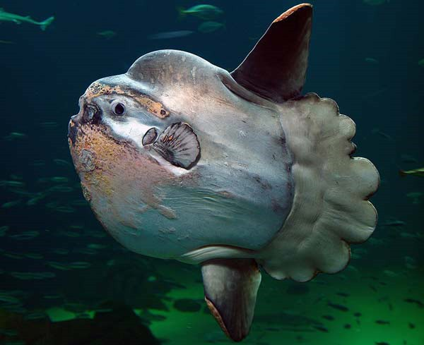 The heaviest fish in the world