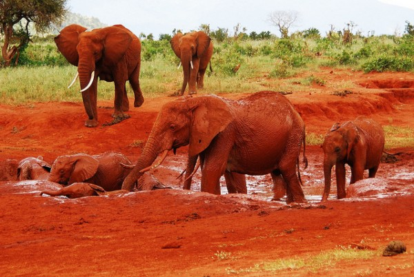 Unusual red elephants