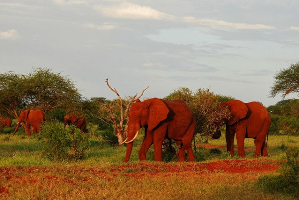 Unusual red elephants in Kenya