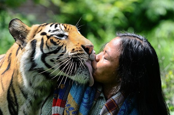 Strange friendship with a Bengal tiger