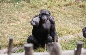 "Court Trial for Tommy the Chimpanzee's ""Legal Personhood"""