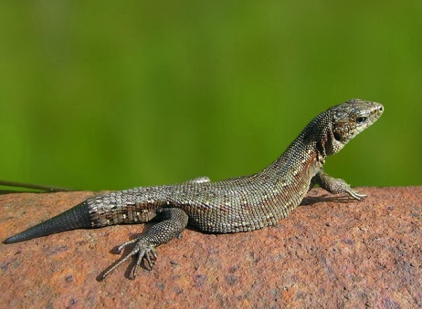 The truth about lizards regenerating their tails