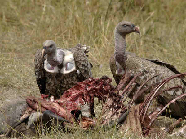 Why Don't Vultures Get Food Poisoning?