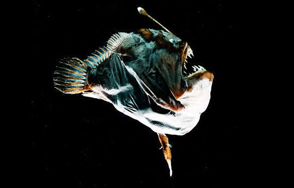 Male anglerfish attached to a female