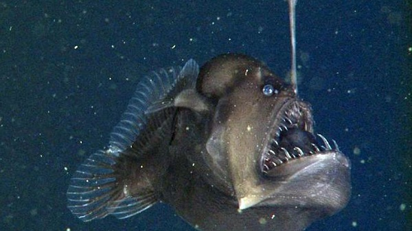 First video recorded of the abyssal anglerfish in its dark habitat